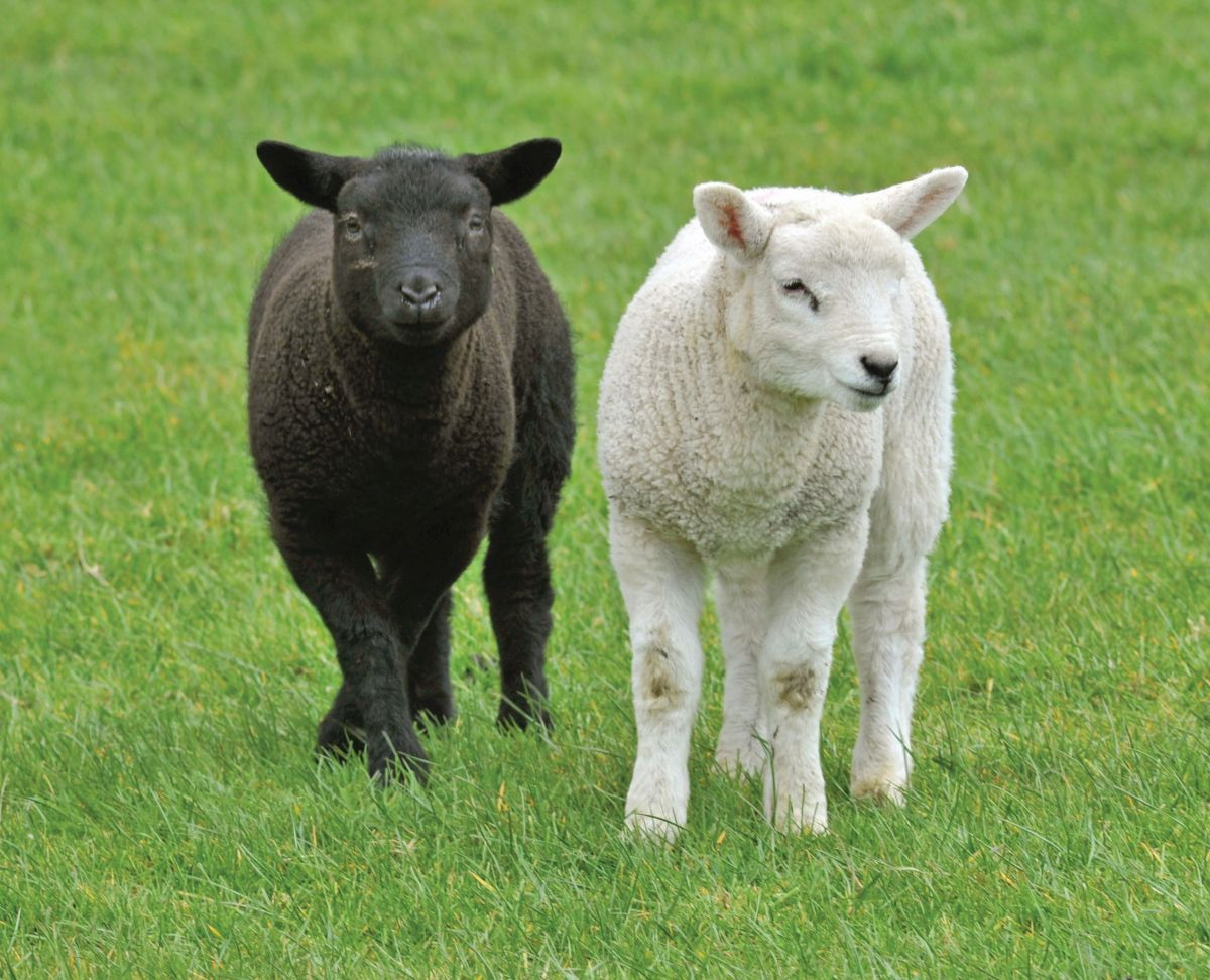 Abortion in sheep - consider vaccination now to prevent losses | Agri-Food  and Biosciences Institute