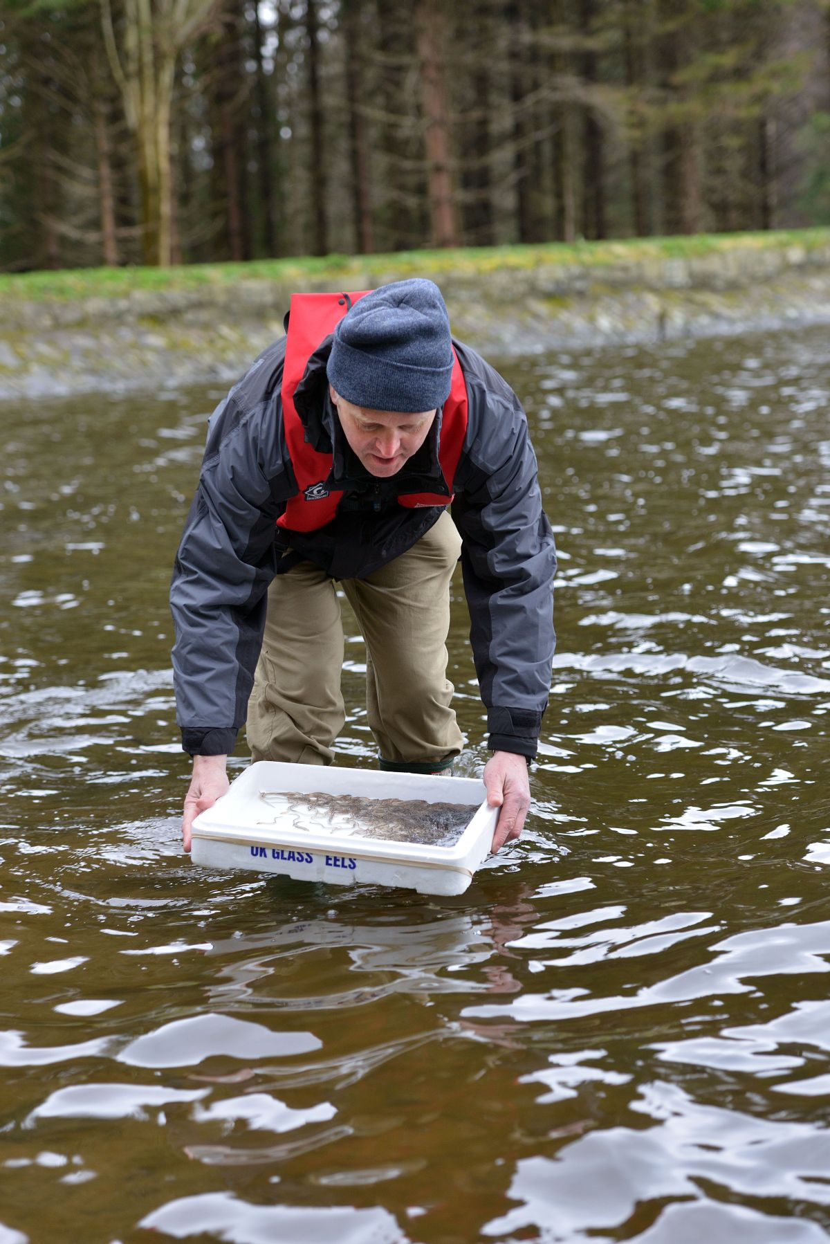 Eels coming back to the lagan latest afbi research for Hillsborough river fishing