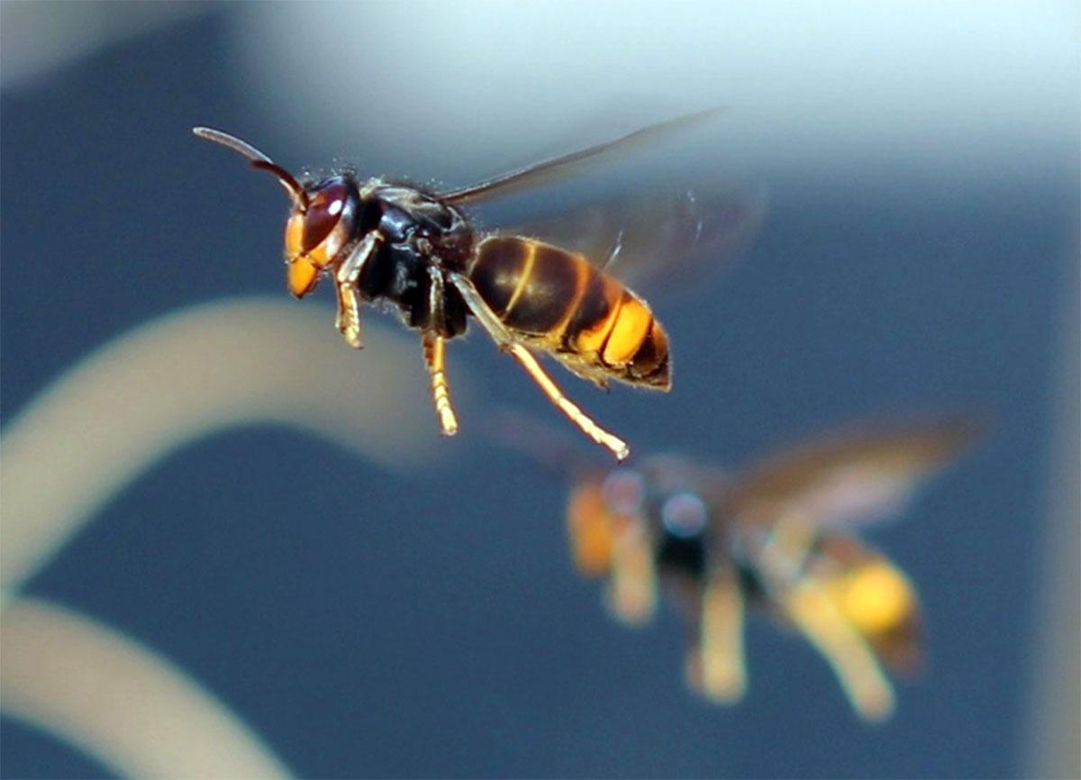 Asian Hornet, Vespa velutina (Photo: Charles J Sharp)