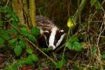 Recent research led by Dr Andrew Byrne of AFBI has shed new light on how badgers can exhibit different movement behaviours across a single pasture-dominated landscape. These results may also affect interpretation of previous TB badger culling trials.