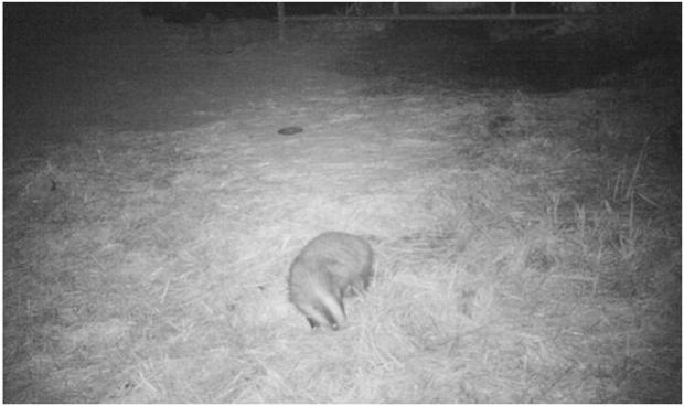 Badger foraging in a farmyard.