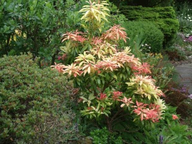 The common garden shrub Forest flame