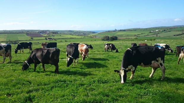 Dairy cows in Clonakilty grazing the grass-clover swards