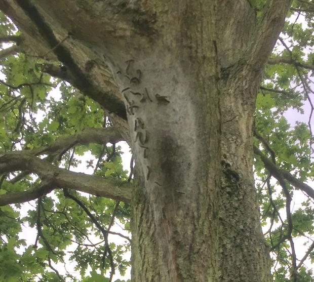 Oak processionary moth webbed nest on the boughs of an oak tree in Richmond Park London (by S. Hamilton, DAERA Plant Health Inspection)