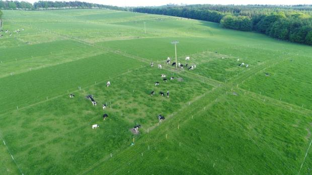 Drone image of heifers grazing their paddocks