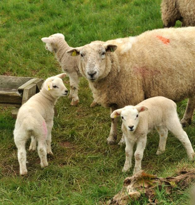 AFBI warns of potential Nematodirus infection in young lambs