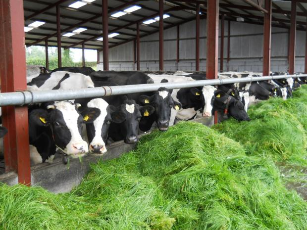 During the summer months cows are fed zero-grazed grass and fed to yield through two robotic milking machines.