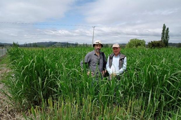 Dr Rodrigo Olave (AFBI) with Mr Mauricio Leonelli-Cantergiani (General Manager, Forest Nursery Piedra del Aguila) at a Miscanthus pilot plantation for a potential energy project.