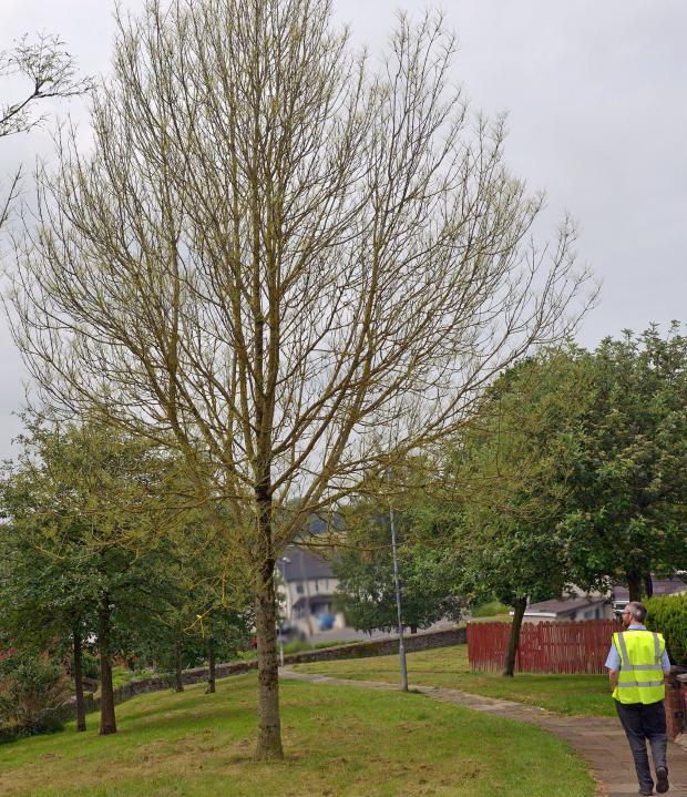 defoliation of tree by sawfly infestation