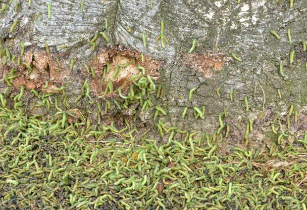 sawfly infestation at base of tree