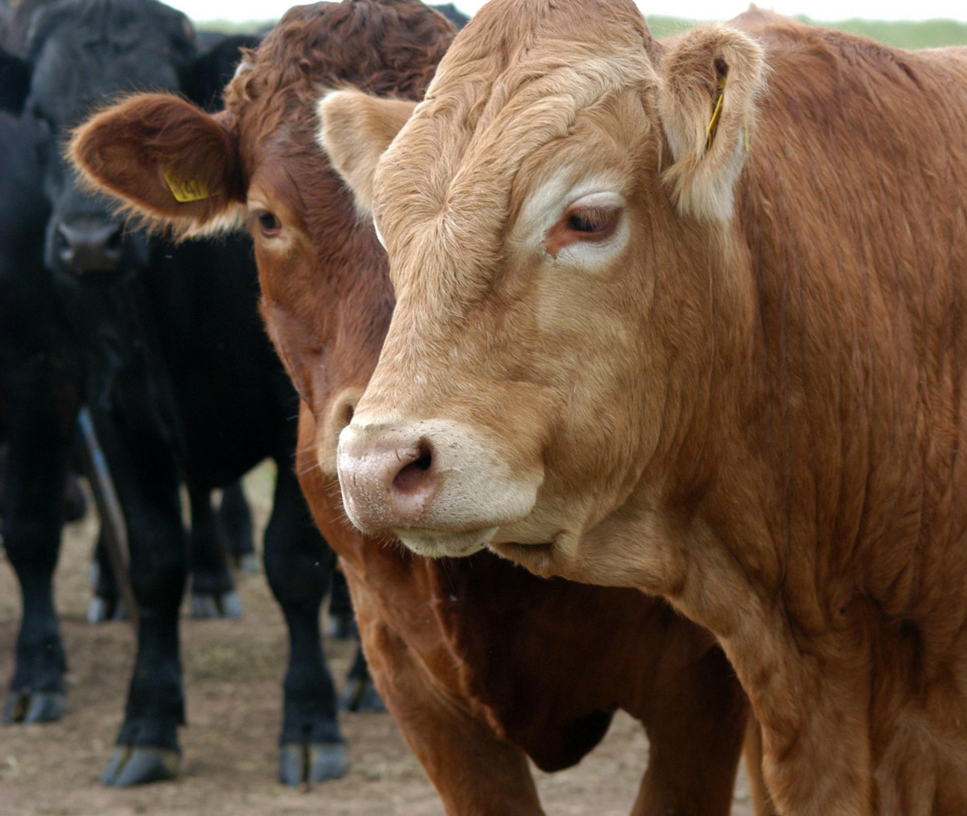 dna testing identification and traceability of cattle agri