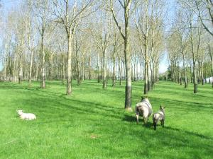Agroforestry at AFBI Loughgall offers many benefits to a sheep grazing system.