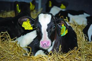 Calves infected during early pregnancy which are not aborted and are born alive are persistently infected with BVDV