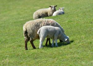 AFBI warns of potential Nematodirus infection in young lambs.