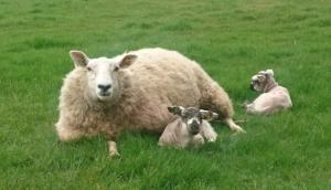 With careful planning and selection, breeding ewe lambs can represent an additional income at weaning of £70.95 per ewe.