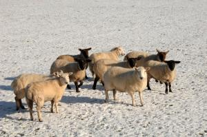 The majority of outbreaks of poisoning by plants in sheep occur over the winter months when grass is scarce