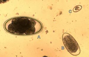 A Nematodirus egg (A) in a faeces sample from a lamb with other gut infections (trichostrongyle worms (B) and coccidiosis (C)).