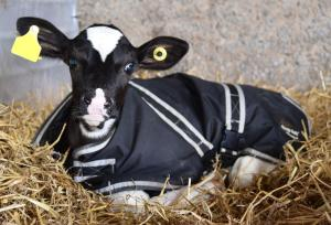 Using calf jackets should be considered as a way to keep calves warm