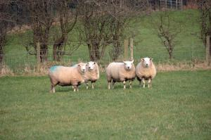 In autumn, it is important that flock owners are aware of the risk of acute fluke infection in sheep grazing permanently damp pasture where the snail intermediate host is breeding and shedding the infective larvae of the parasite.