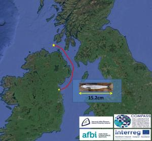 The route taken by young salmon (smolts) leaving the east coast of Ireland has been discovered for the first time.