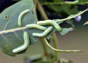 Sawfly larva on leaf