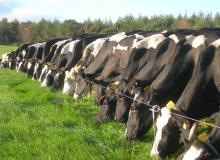 Cattle at AFBI Hillsborough